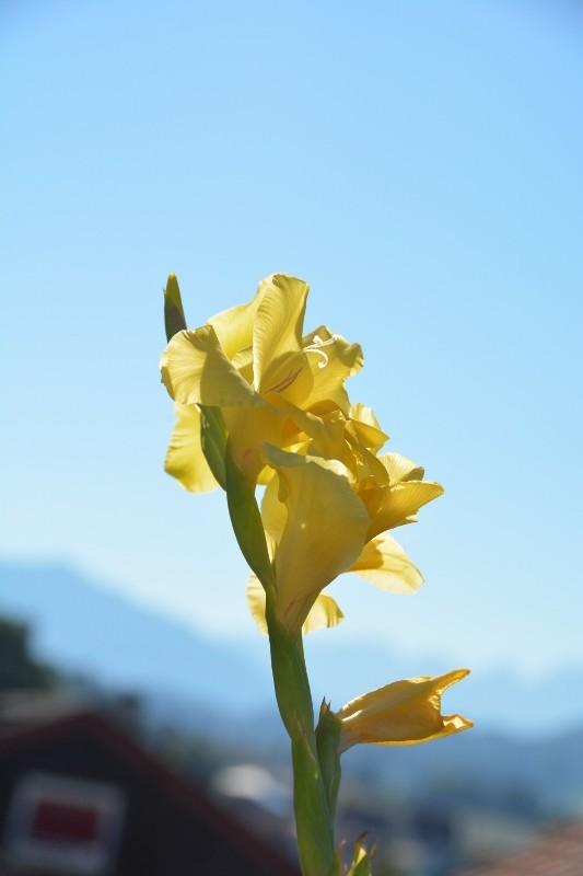 Gladiolen liebte meine Mutter. Ich erinnere mich durch die Gladiolen in meinem Garten intensiv an sie.
