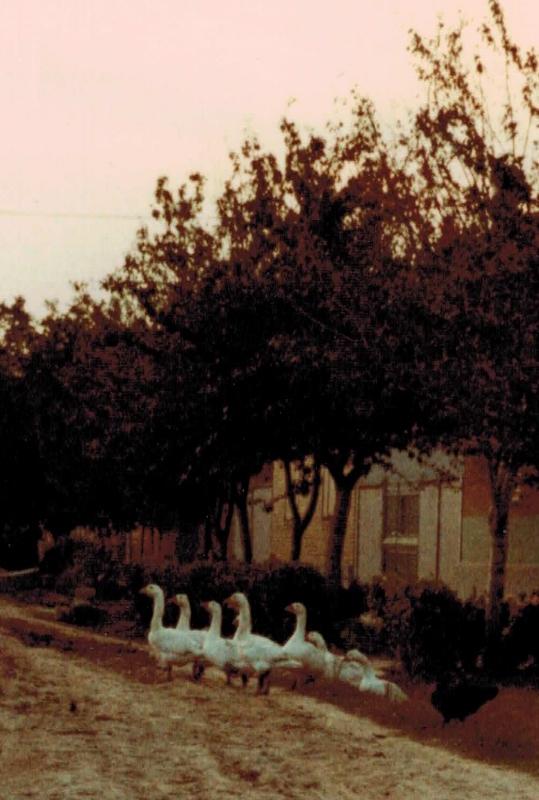 Immer wieder kreuzten Tiere die Wege. Gänse lebten wie die Hühner auf den Höfen frei.