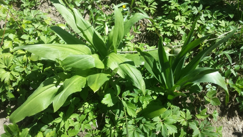 Links ist der Bärlauch und rechts befindet sich die Herbstzeitlose. Wenn man die verschiedenen Pflanzen kennt, kann man sie gut unterscheiden.