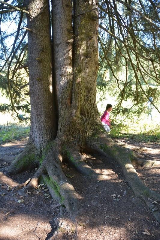 Wurzelwerke, Grösse und Alter des Baumdrillings beeindrucken uns.